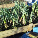 January 2015 Leek Beds