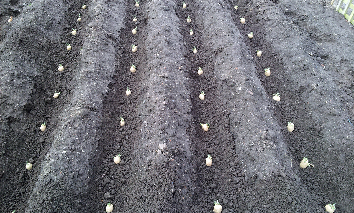 Spuds planted, April 2015
