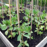Well-established broad beans