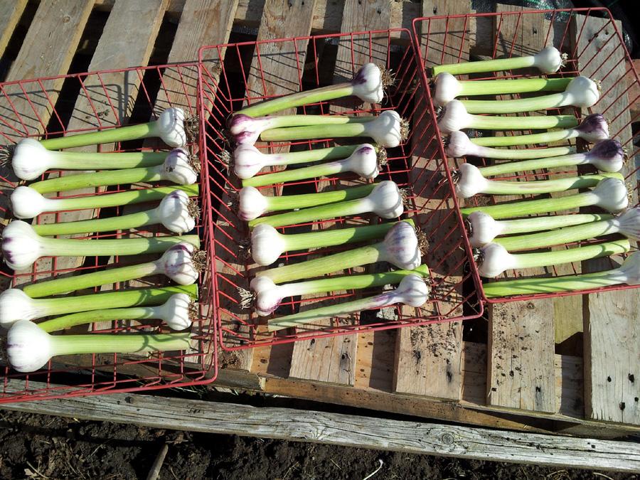July 2015 - garlic harvest