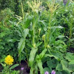 Sweetcorn patch, summer 2015