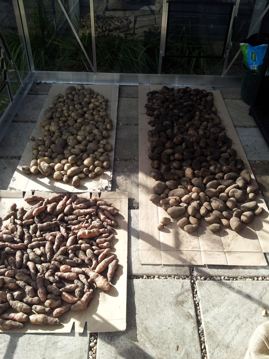September 2015 spud harvest