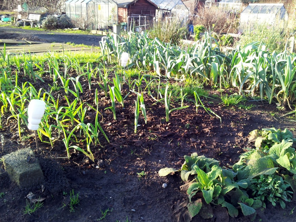Winter 2016 in the Allium Patch