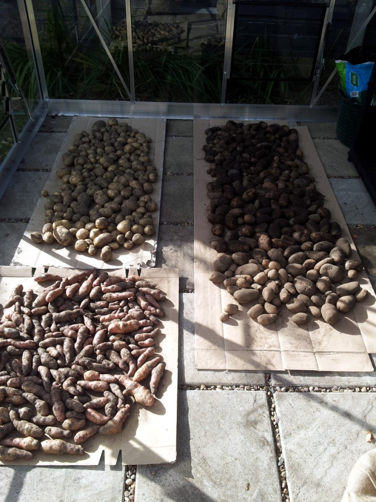 October 2015 Spuds drying out