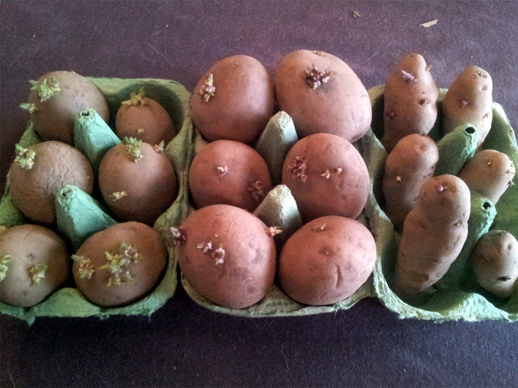 Feb 2016 Chitting Spuds