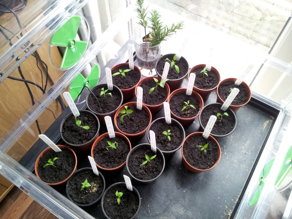 March 2016 chilli seedlings in ptopagator