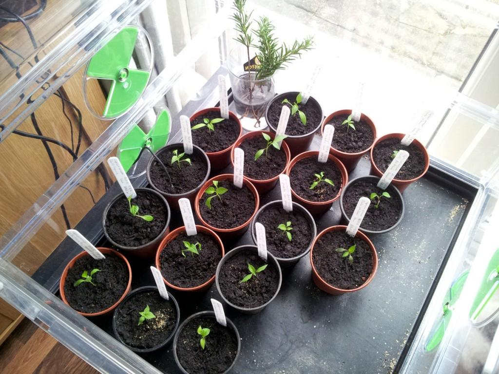 March 2016 chilli seedlings in ptopagator