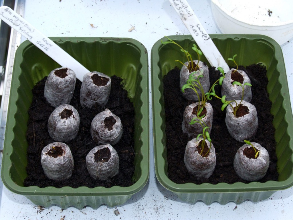 March 2016 Swiss chard germination