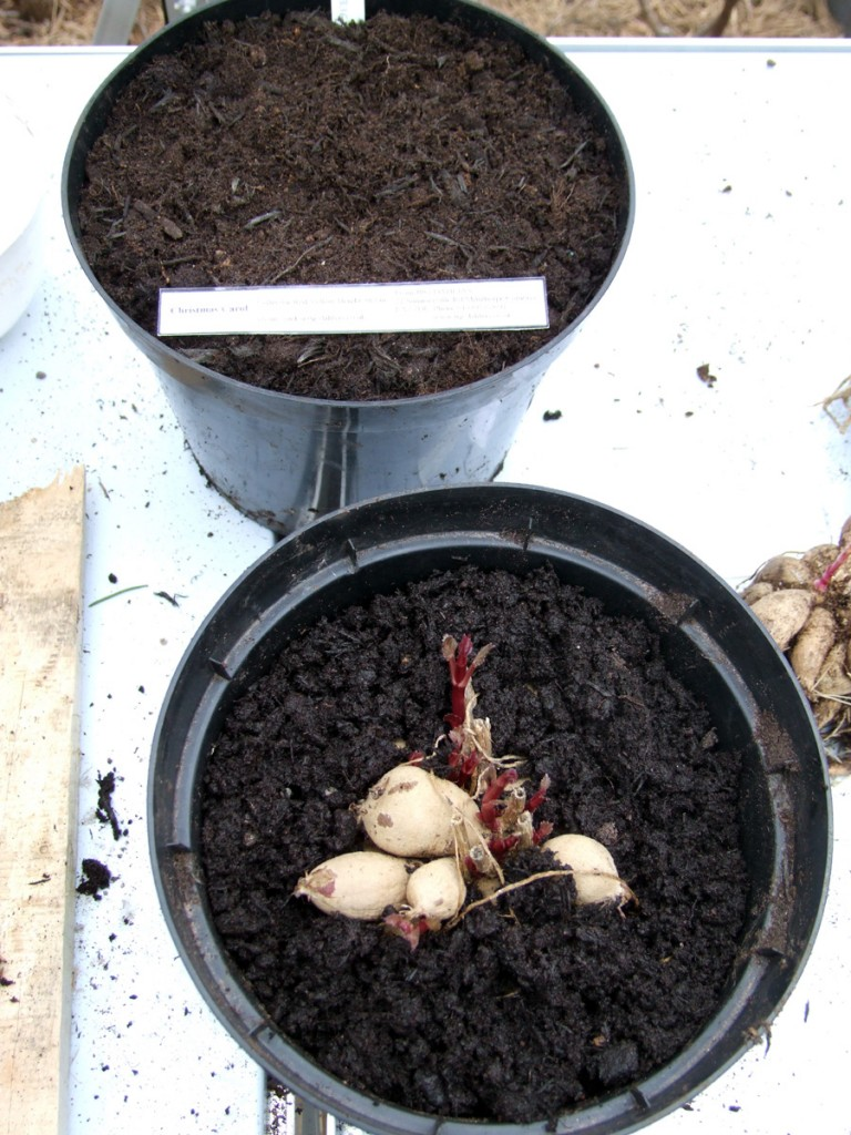 March 2016 - JRG Dahlias being potted up