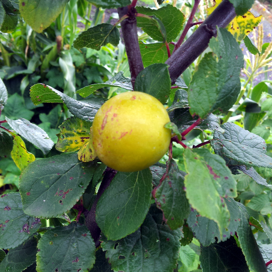 September 2015 mystery fruit