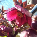 March 2016 single red hellebore