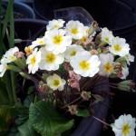 March 2016 primrose