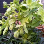 March 2016 stinking hellebore