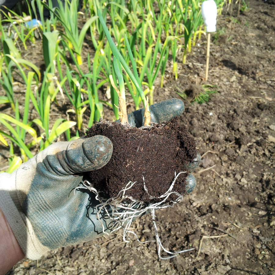 March 2016 - Onion 'sturon' ready for planting