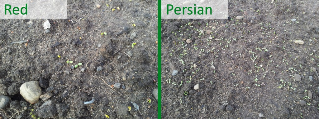 March 2016 Clover germination comparison