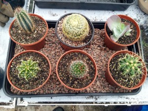 April 2016 cactus tray