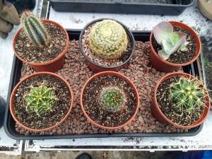 April 2016 cactus tray