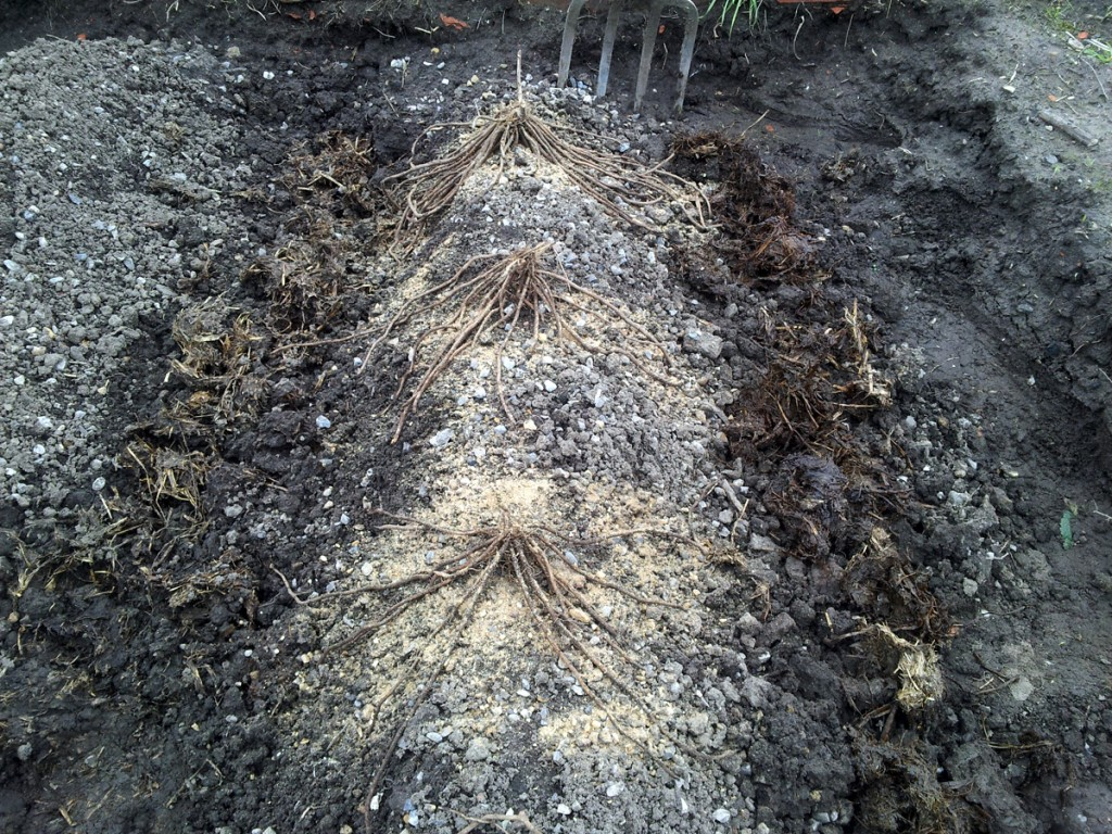 April 2016 - asparagus crowns planted on ridges