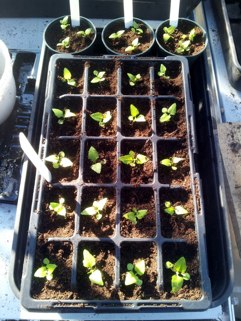 April 2016 electric daisy seedlings