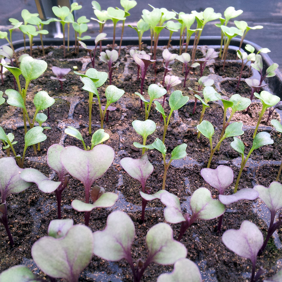 April 2016 more brassica seedlings