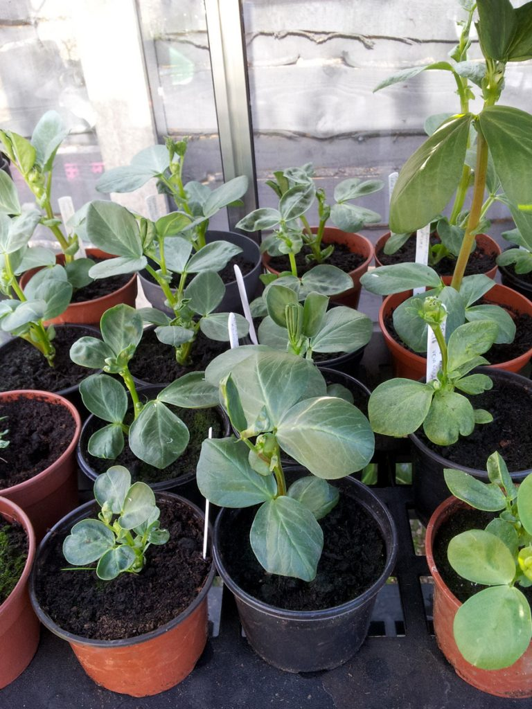 April 2016 broad beans