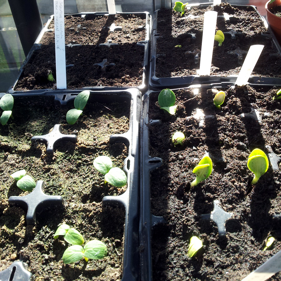 April 2016 cucurbit seedlings