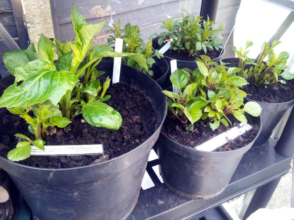 April 2016 - Dahlias sprouting