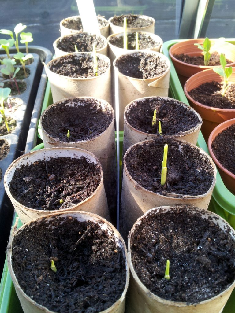 April 2016 - sweetcorn shoots