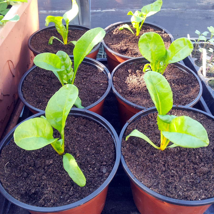 April 2016 - Swiss chard seedlings