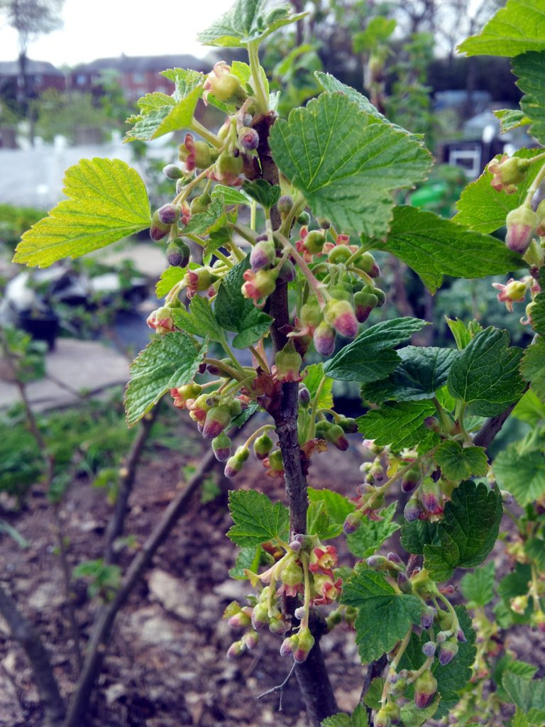 May 2016 blackcurrant blossom