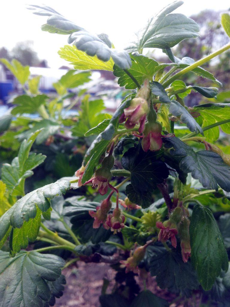 May 2016 gooseberry blossom