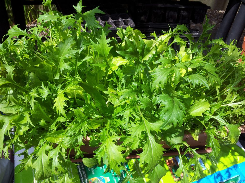 May 2016 salad leaves