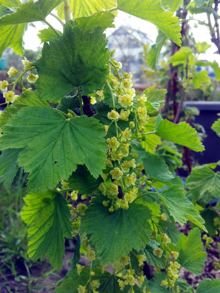 May 2016 whitecurrant blossom