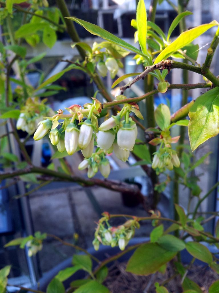 May 2016 blueberry blossom