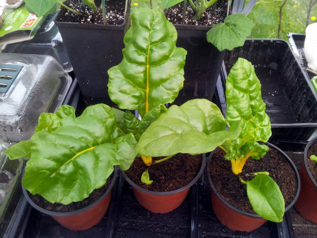 May 2016 Swiss chard