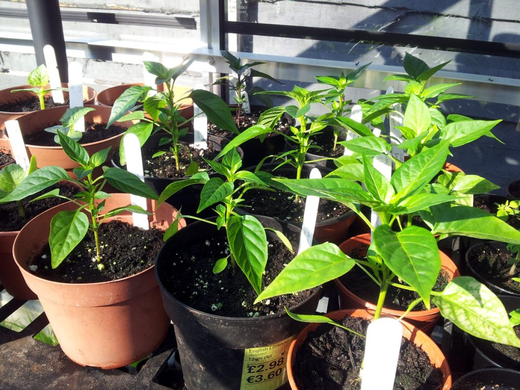 May 2016 assorted chillis