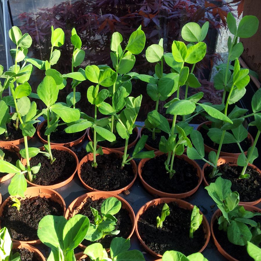 May 2016 pea seedlings