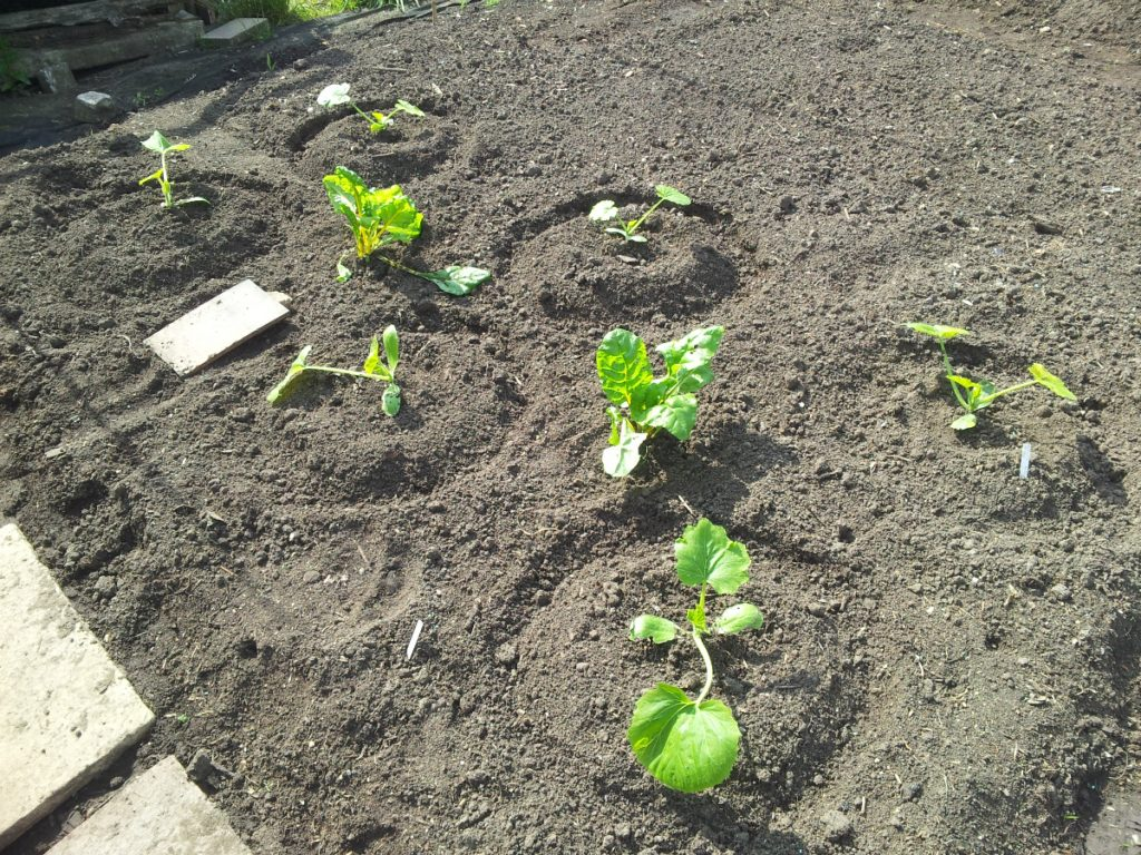 May 2016 courgettesplanted