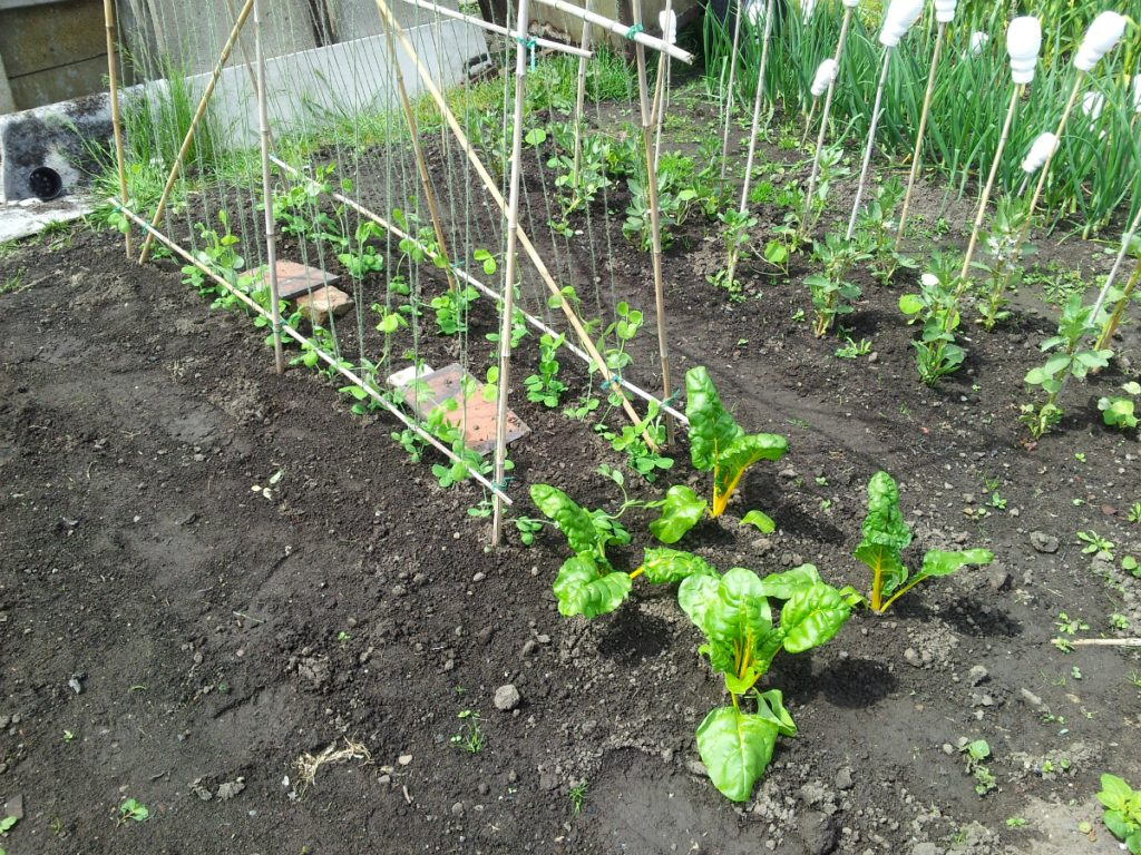 May 2016 peas and chard