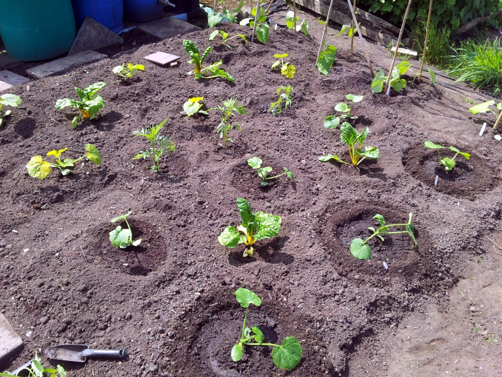 May 2016 courgette patch