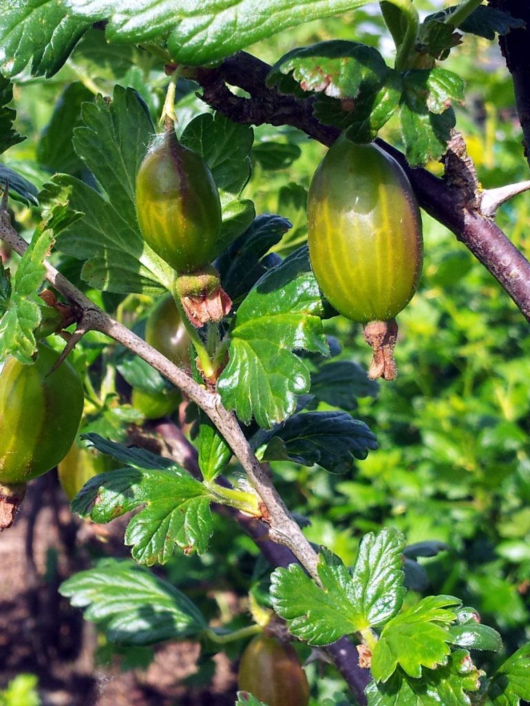 May 2016 gooseberries