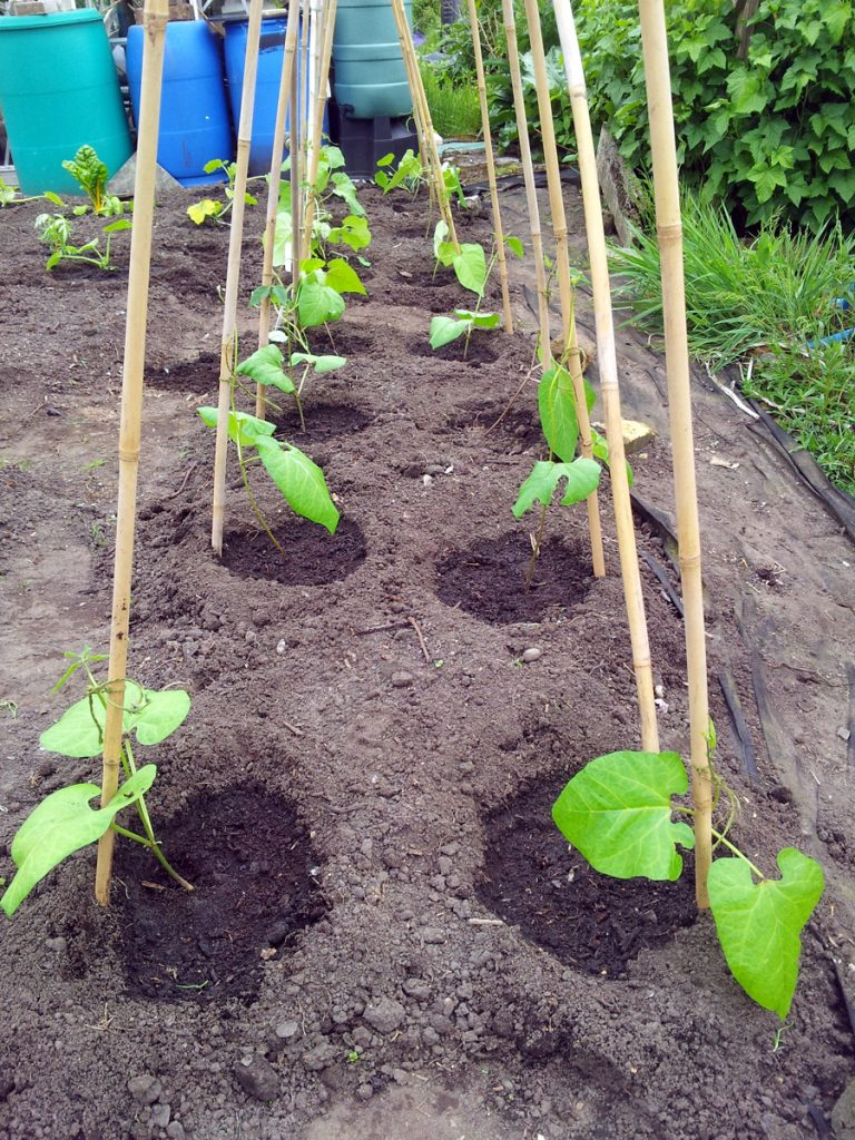 May 2016 runner beans planted