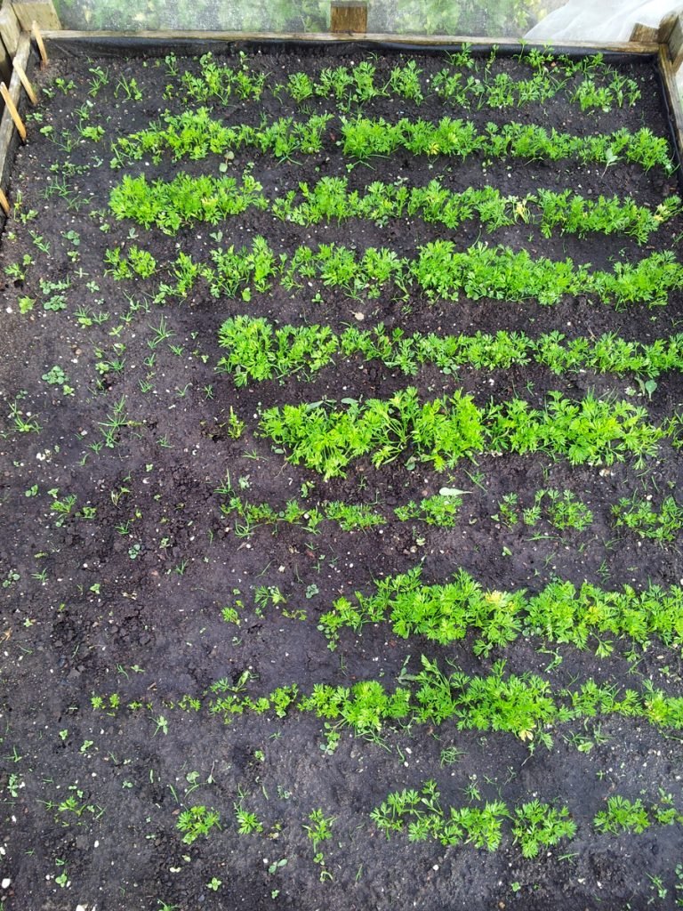 May 2016 carrot bed