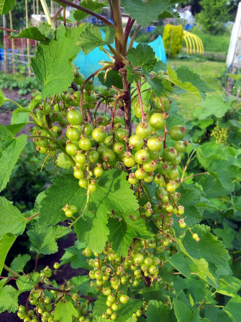 May 2016 redcurrants