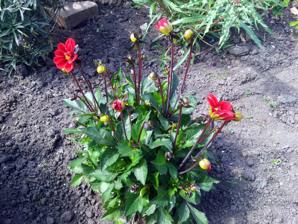 June 2016 - Dahlia 'topmix red'