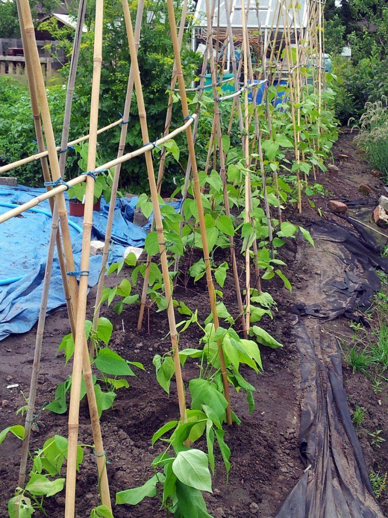 June 2016 bean canes