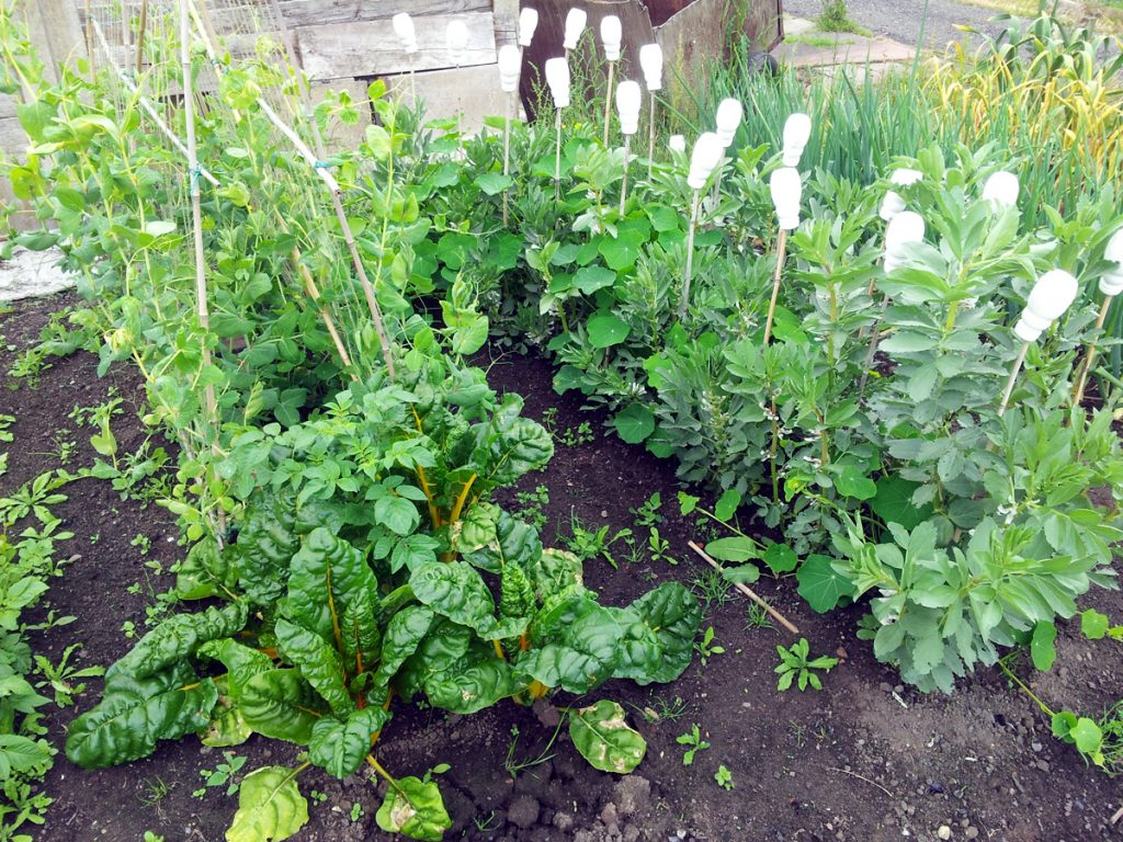 June 2016 peas and broad beans