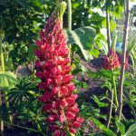 June 2016 red lupin