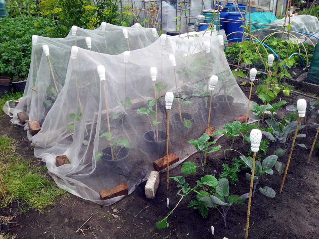 June 2016 - netted brassicas