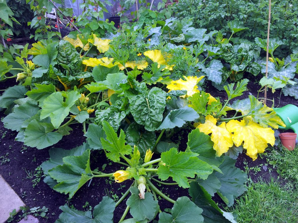 June 2016 courgette patch